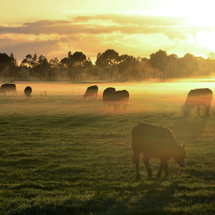 Cattle at sunrise